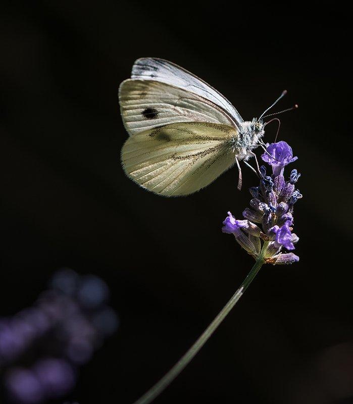 природа, макро, цветы, лаванда, бабочка Серенадаphoto preview