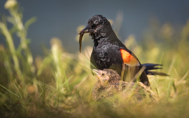 Red-winged Blackbirds and their breakfastphoto preview