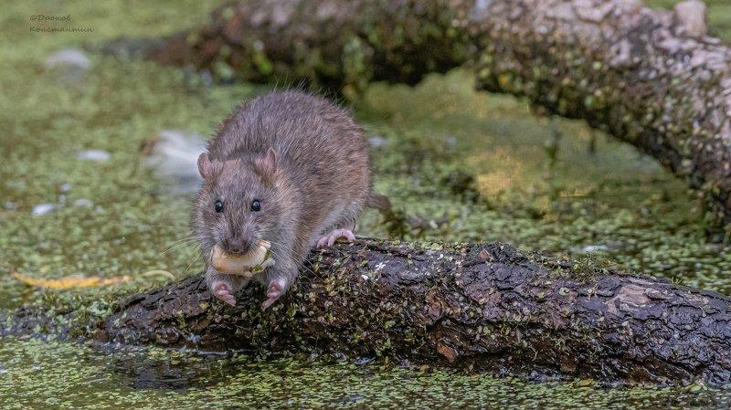 крыса, животные, фотоохота Хочу больше!photo preview