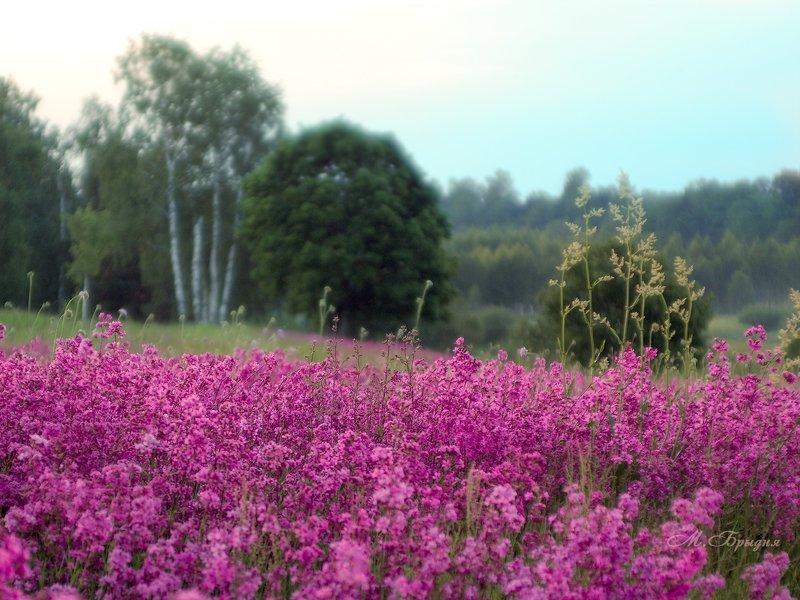 Смолка цветётphoto preview