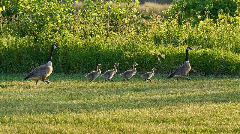 Goose familyphoto preview