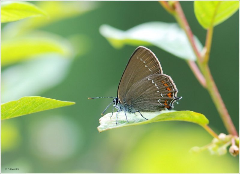 бабочка,хвостатка,ilicis Ярким днёмphoto preview