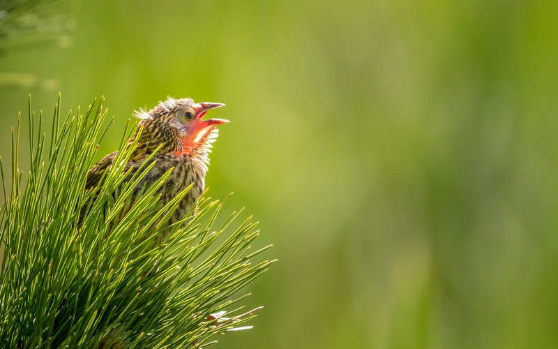 Red-winged Blackbird chickphoto preview