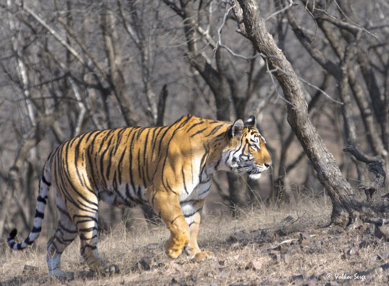 индия, тигр, дикая природа, фотоохота, бенгальский тигр, panthera tigris bengalensis, panthera tigris Усталый корольphoto preview