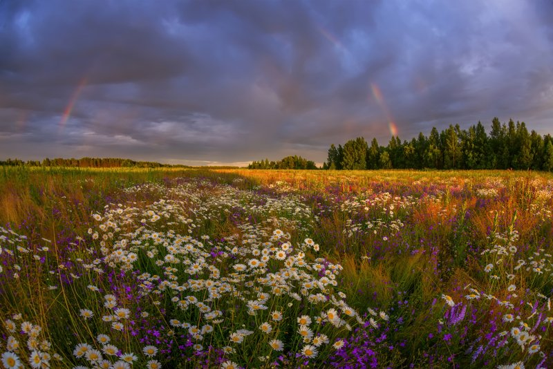 ромашки, радуга, лето, цветы, рассвет, закат просто лето и ромашки )photo preview