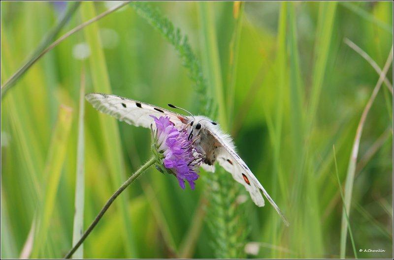 бабочка,аполлон,июньские,травы В июньских травахphoto preview