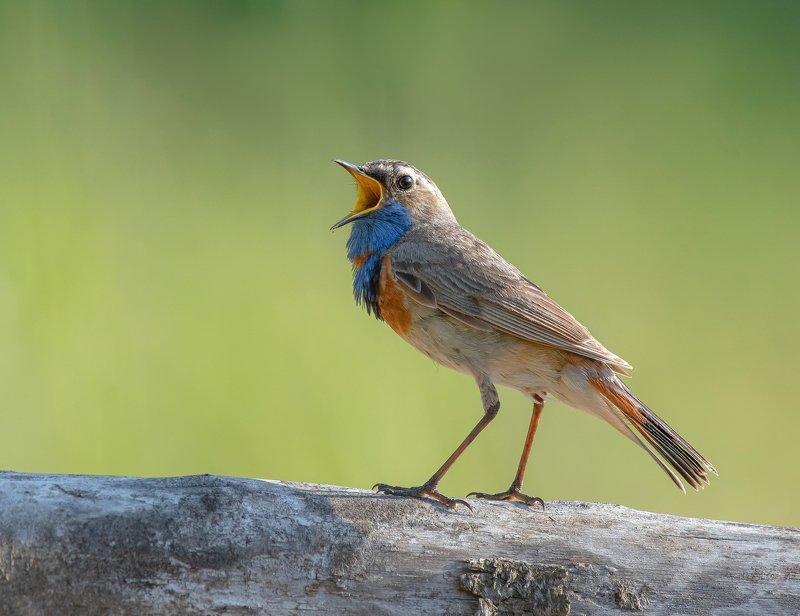 птицы,природа, лето Варакушкаphoto preview