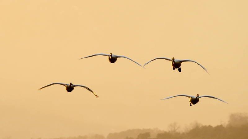 south korea, gyeonggido, winter, sunset, swan, animal, bird, sky, light, Flying swansphoto preview