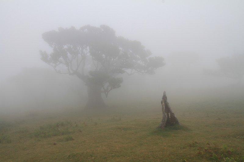 fog, , trees, landscape, madeira Лавровая роща в тумане.photo preview