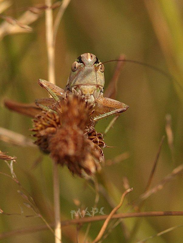 макро кузнечик портрет июль лето насекомые Самый злой кузнечикphoto preview