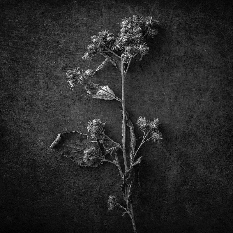 натюрморт, черно-белое Лопухphoto preview