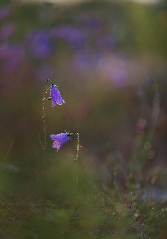 колокольчик, якутия, Цветики степные...photo preview