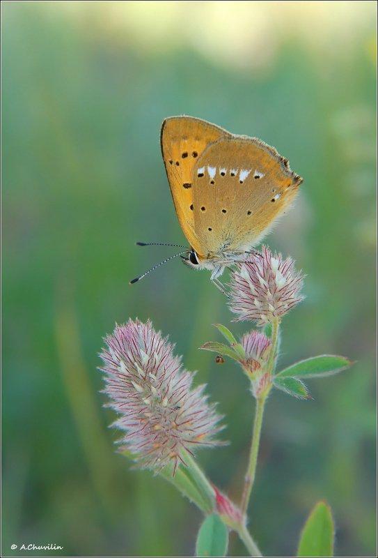 бабочка,голубянка,червонец,virgaureae Червонец )photo preview