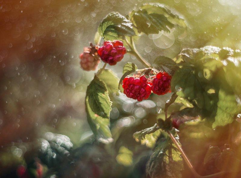 ягода малина лето боке макро Ягода-малина нас к себе манила...photo preview