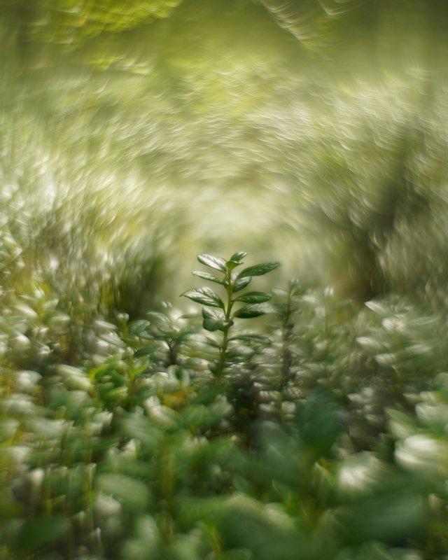 боке гелиос природа лес ягоды черника земляника макро macro bokeh helios Лесные историиphoto preview