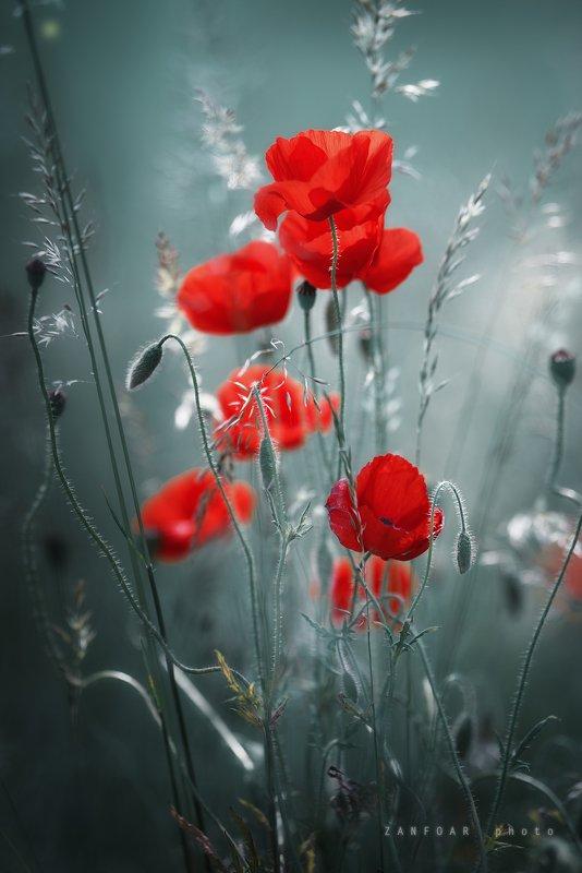 волшебные маки,маки,волшебный,красный, цветы, природа,zanfoar,занфоар ,чехия,czech republic,nikon d750 волшебные макиphoto preview