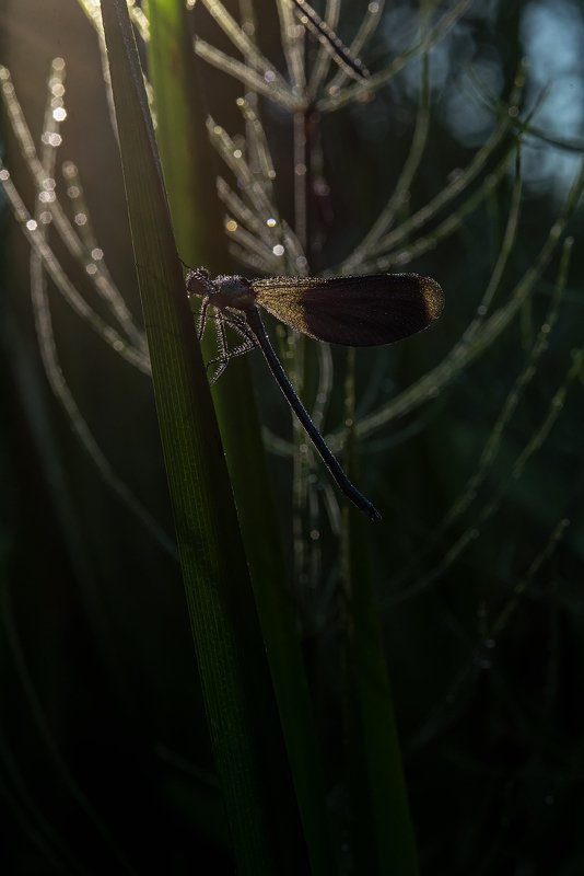 стрекоза, утро, свет, роса, лето, макро, макрофотография, природа, ручей, река, nikon, dragonfly, macro, macropgotography, green, river, summer, wild, wildlife, nature ***photo preview