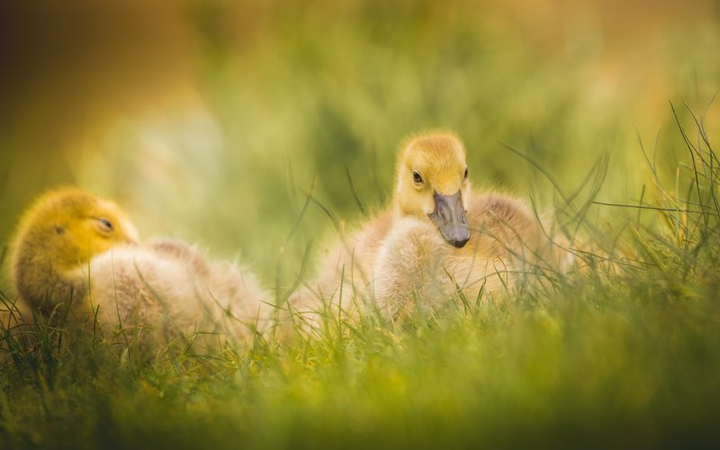 Canada Goose in its cute phasephoto preview