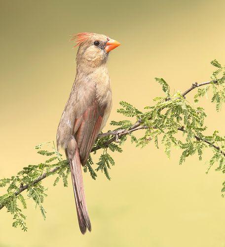 Female Northern Cardinal - Самка. Красный кардинал