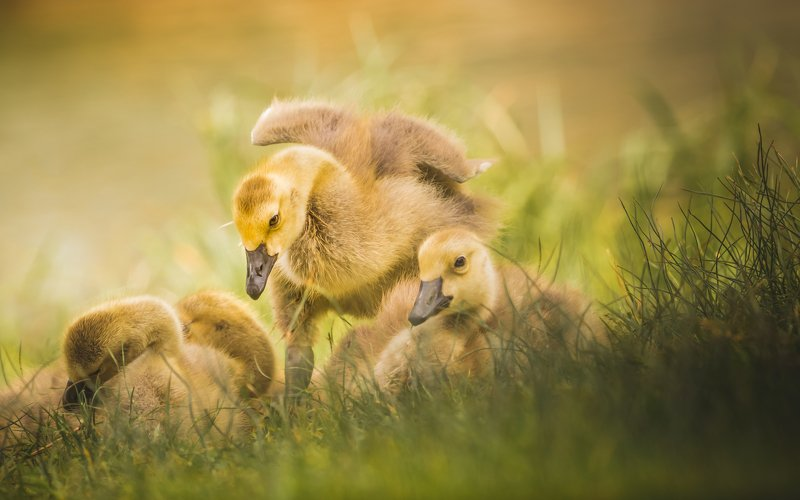 Canada Goose in its cute phase, but already meanphoto preview