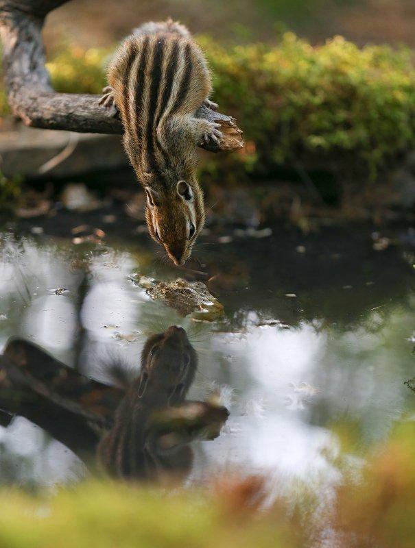 нерюнгри, бурундук, якутия, дикие_животные Кто живет в пруду?photo preview