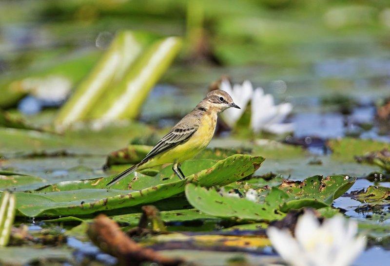 жёлтая трясогуска. Жёлтая на болоте.photo preview