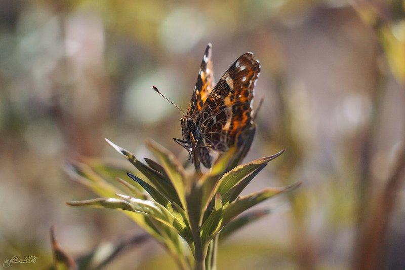бабочка, весна, листья, солнце Бабочка \