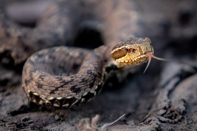 змея Уссурийский щитомордникphoto preview