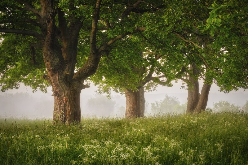 лес, деревья, туман, утро, лето, дубы Зеленые дубыphoto preview