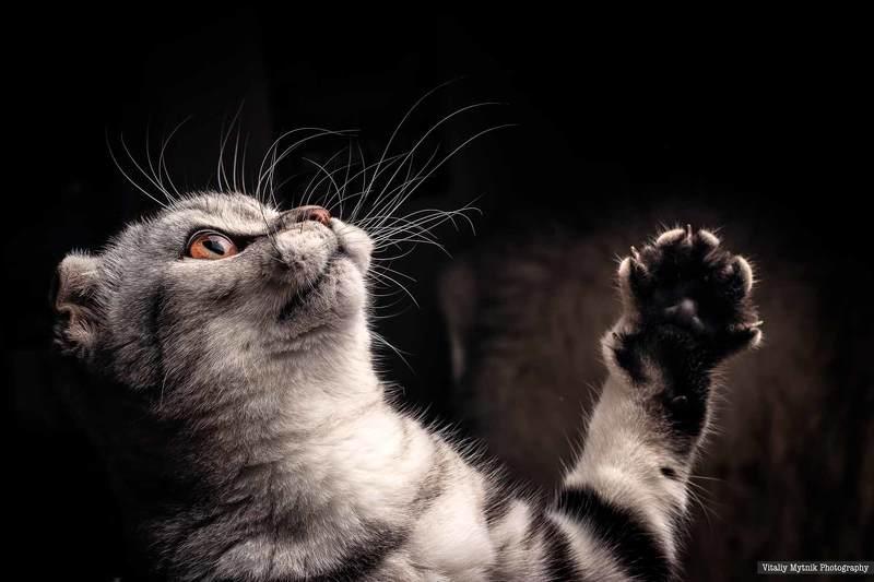 Mammal, Feline, Domestic, Cat, Animal, Pets, Domestic Animals, Kitten, Cute, Gray, One Person, Beauty, Purebred, Cat, Small, Scotland, шотландская кошка, котик, котенок,  Мияphoto preview