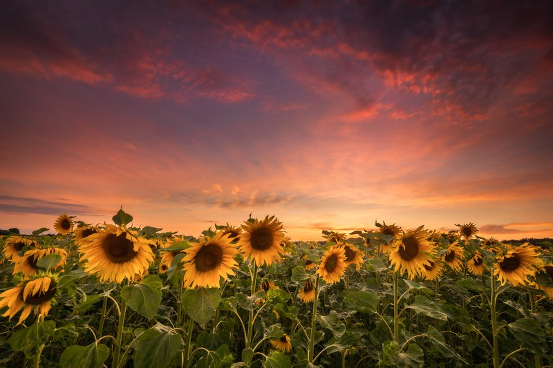 Sunflowers!photo preview