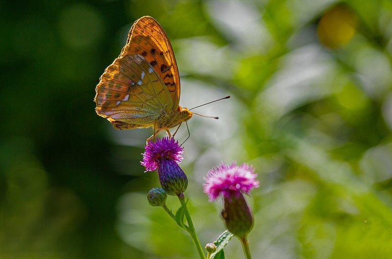 бабочка, перламутровка, август В жаркий полдень фото превью