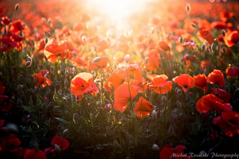 poppies, ,meadow, ,flowers, ,sunlight, ,light, ,nature, ,spring, ,season, Poppies bathing in the light of setting sun.photo preview