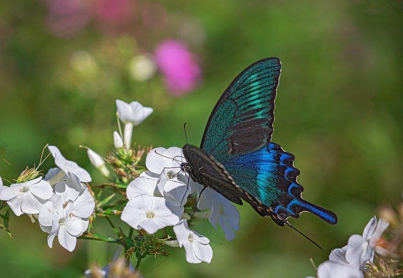 бабочка, , парусник, маака, papilio, maackii Обед аристократа фото превью