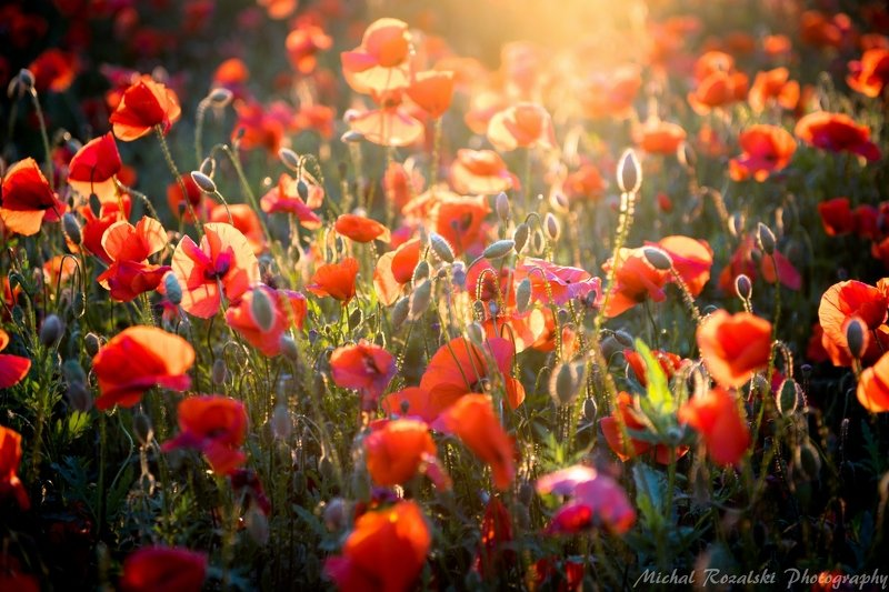 meadow, ,poppies, ,flowers, ,light, ,sunlight, ,sunrays, ,landscape, ,spring, ,season, , Spring meadowphoto preview
