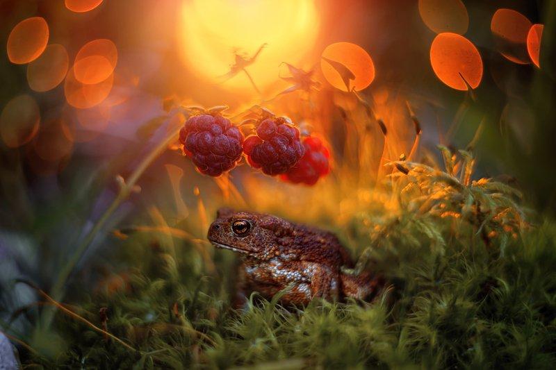закат малина вечер боке жаба лес мох свет солнце красота природа Закат в малинникеphoto preview