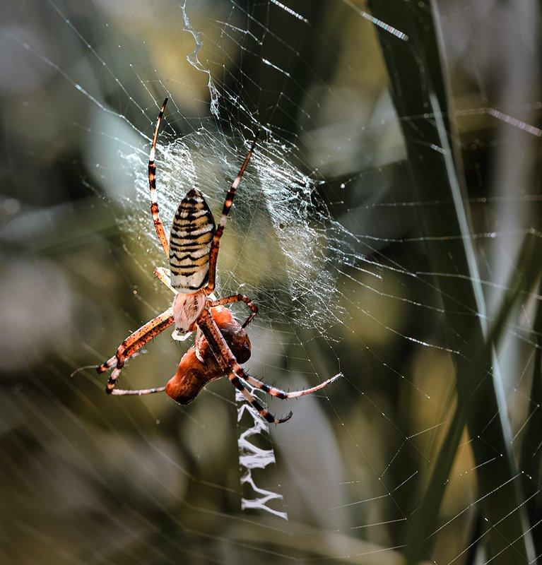 природа, макро, паутина, паук, аргиопа Третий раз закинул он невод...photo preview