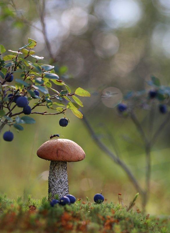 нерюнгри, подосиновик, якутия, муравей, грибы, насекомые, Шел муравей шел,...подосиновик нашел!photo preview