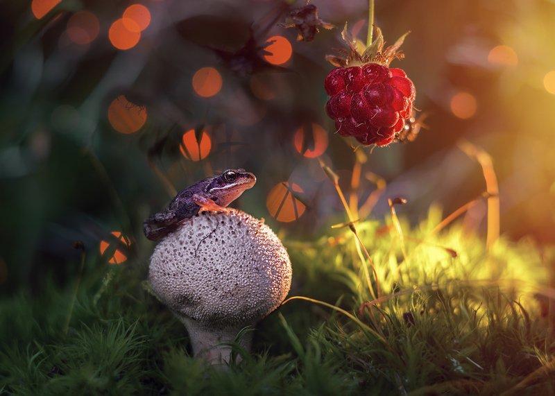 макро лягушка мох гриб боке свет солнце закат красота лес малина ягода photo preview