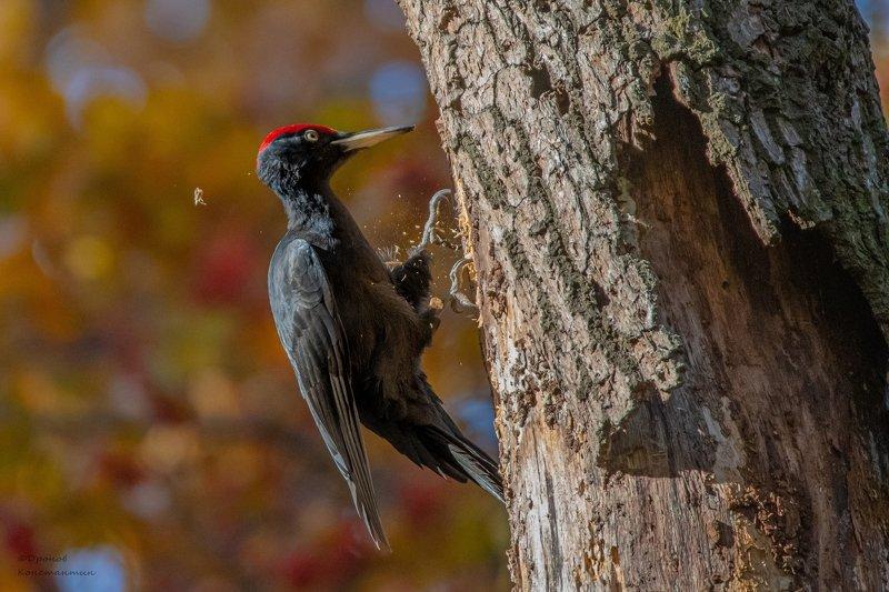 Птицы, Желна, Дятел, ФотоОхота Лес рубят-щепки летятphoto preview
