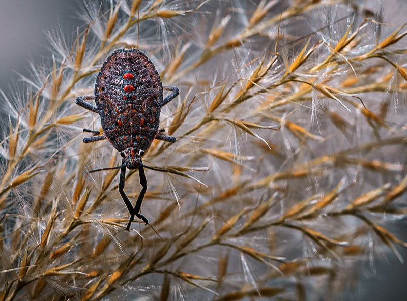 природа, макро, насекомое, клоп Перстень с коралламиphoto preview