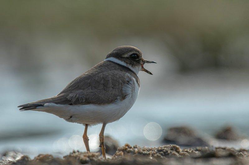 птицы,природа, лето Галстучникphoto preview