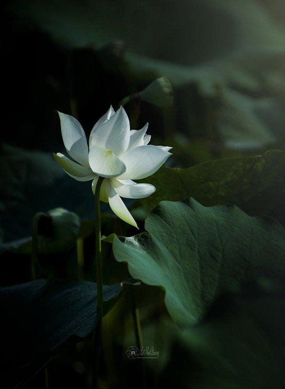 White lotusphoto preview