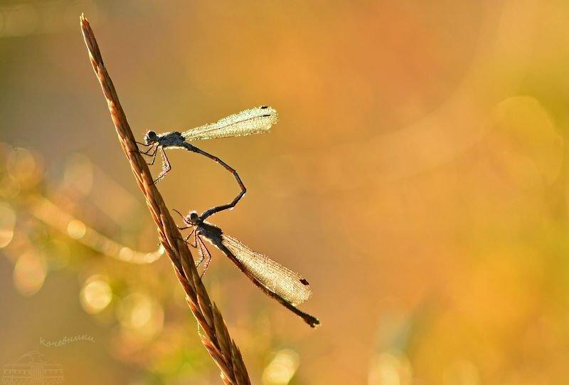 стрекоза, рассвет, насекомые, макросъемка Предосенние стрекозыphoto preview