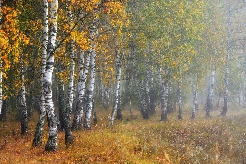 осень, березы, лес, золотая осень, туман, Осень в березовой рощеphoto preview