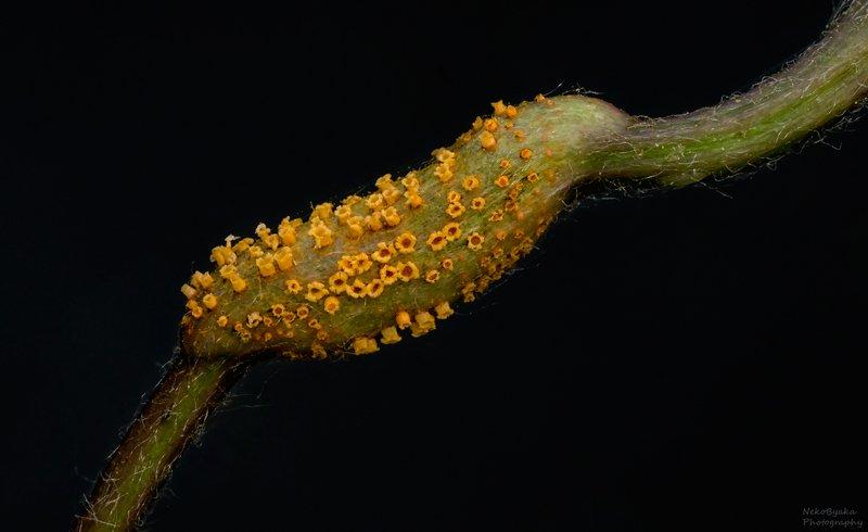макро, природа, растения, грибы, паразиты, macro, nature, plants, fungi, parasites, Пукциниевыеphoto preview