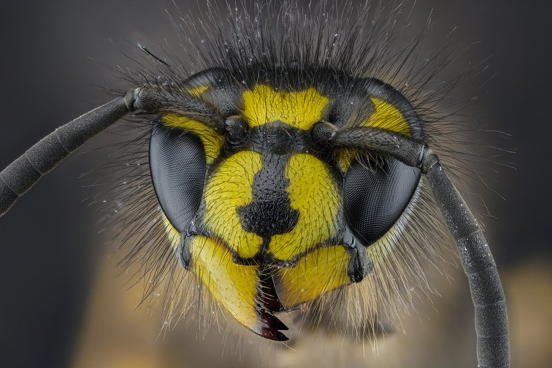 оса, насекомое, макро, супермакро, стекинг Осаphoto preview