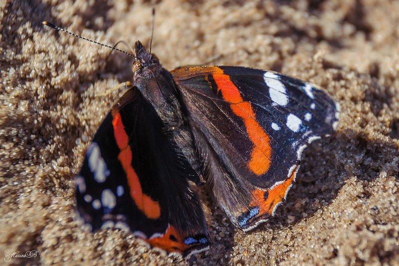 бабочка, адмирал, траурница, крапивница Бабочки, обитающие на берегу рекиphoto preview