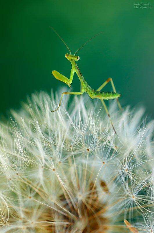 макро, природа, цветы, одуванчик, насекомые, богомол, боке, macro, nature, flowers, dandelion, insects, mantis, bokeh, \