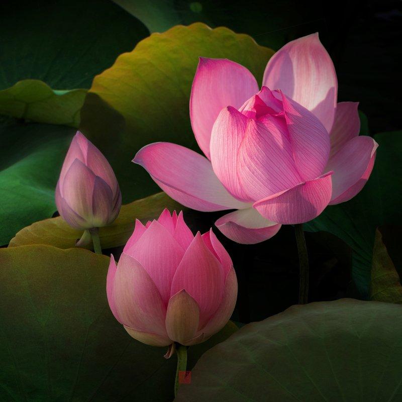Lotus #3photo preview